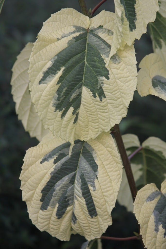 The variegated Dove tree is the only of three newly delivered trees that was dormant, though leaf buds are swollen.