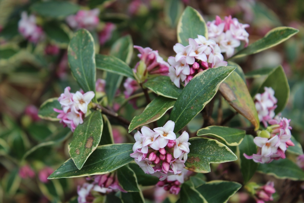 Variegated winter daphne will occasionally flower in mid February, so flowering late in the month is not unexpected.