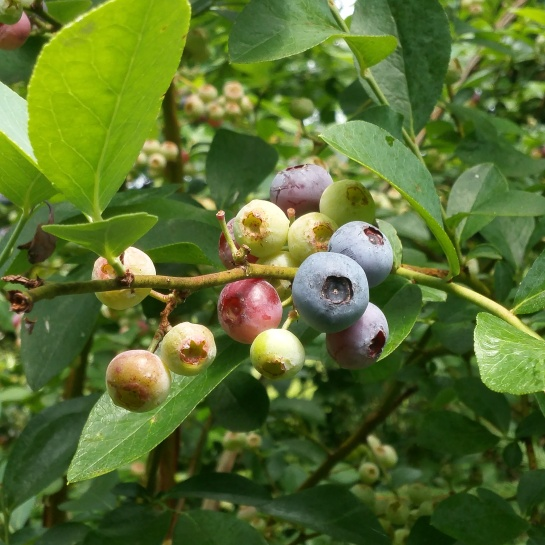 Blueberry bush with cluster of fruits