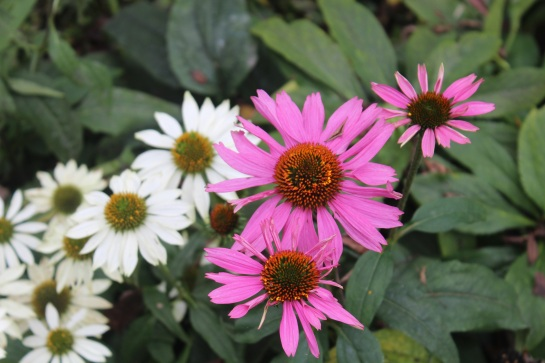 'Powwow' varieties of coneflower in bloom