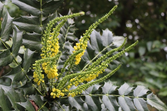 'Winter Sun' mahonia began flowering in late October. Other hybrid mahonias are following, and most will flower into the the new year.