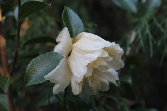 The garden's camellias were in full bloom until this freeze. It is likely that flowers will continue through the next month, or longer, with blooms damaging on very cold nights and buds opening after a few mild days.