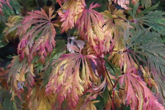 With recent cold, leaves of the Fernleaf Japanese maple (Acer japonicum 'Aconitifolium') have turned mottled colors ranging from yellows to reds.