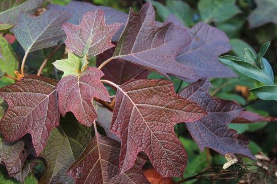 Fall color on an oakleaf hydrangea