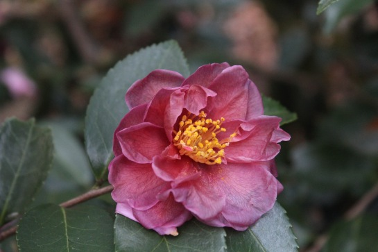 Though flowers of camellias remain colorful, damaged blooms will fade quickly to brown.