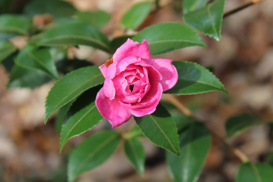 With regular overnight temperatures in the twenties, this developing camellia flower is likely to be damaged.