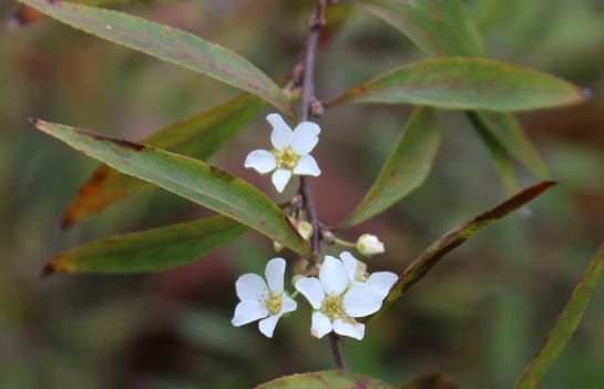 Ogon spirea flowers in late winter, but it is not unusual to see scattered blooms in late autumn.