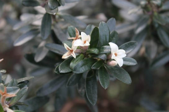 Nighttime temperatures in the teens are likely to put a halt to flowering of 'Eternal Fragrance' daphne, though a few scattered blooms could return in an extended spell of mild winter weather.