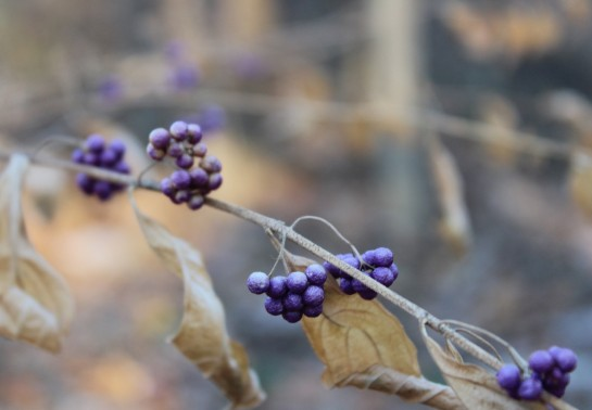 Some berries of purple beautyberry (Callicarpa dichotoma) persist into early winter.